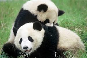 Deux-pandas-geants-nes-aux-etats-unis-arrivent-en-Chine