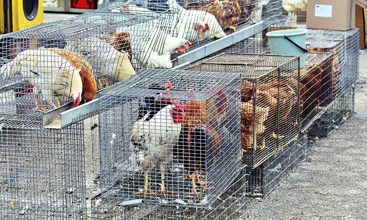 Cas de grippe aviaire H7N9 en Chine